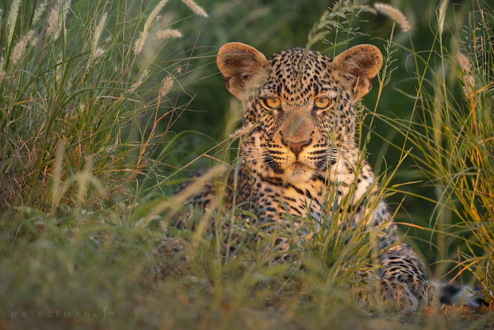 Their piercing amber eyes are the first thing you notice when encountering a leopard. Acute senses, especially their hearing...