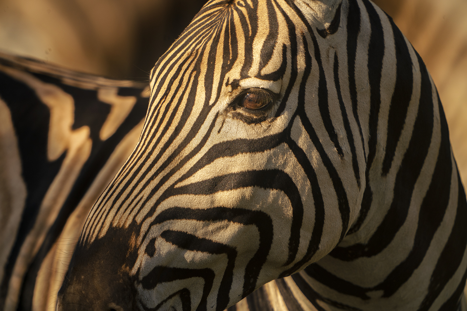 The unmistakeable stripes of the zebra.