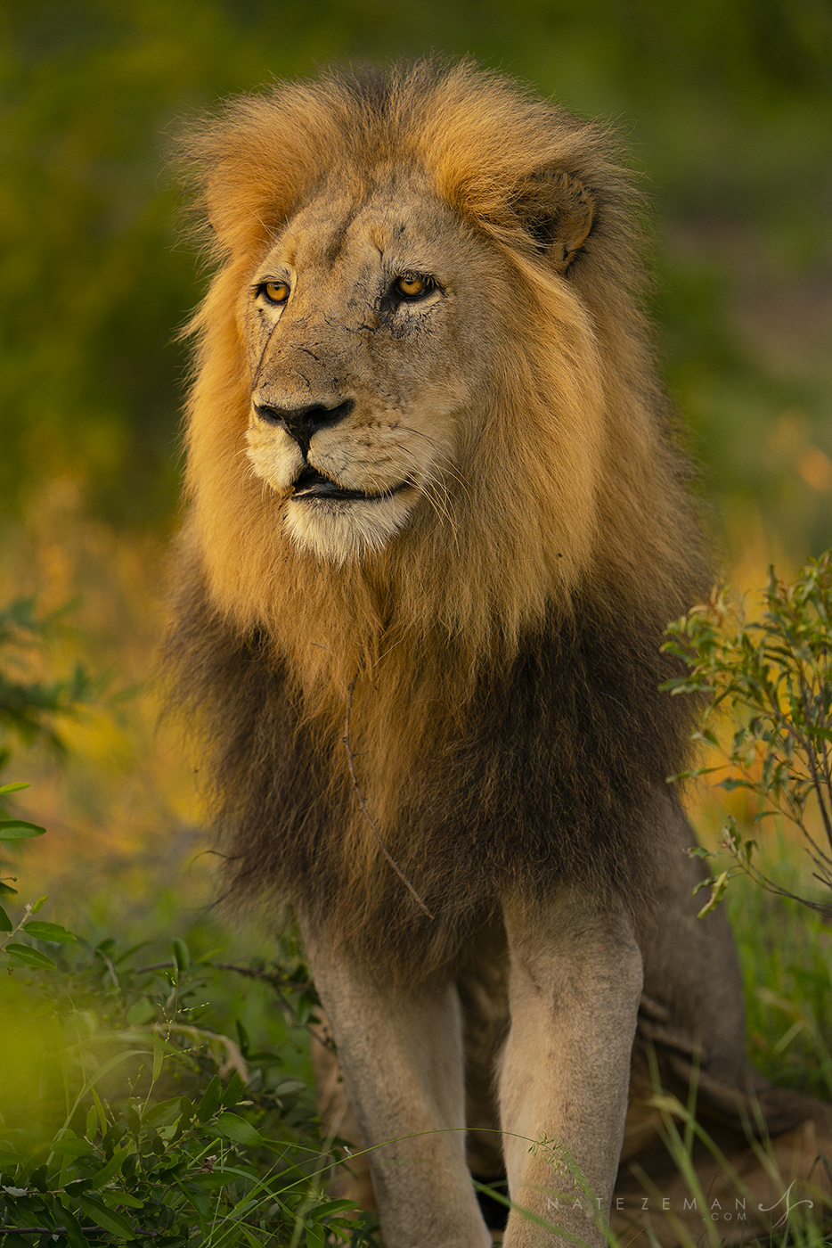 The last warm rays of sunset light strike the mane of abeautiful male lion surveying a herd of zebras in the distance.&...