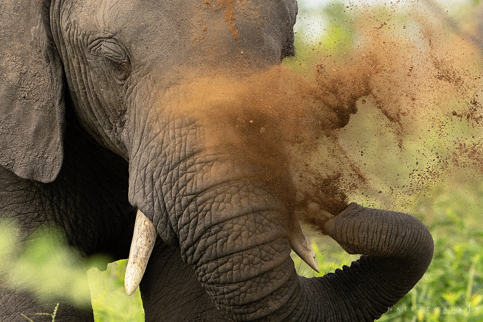Elephants regularly bathe in dust and mud. These baths serve a multitude of purposes. Covering the skin in dust helps keep parasites...