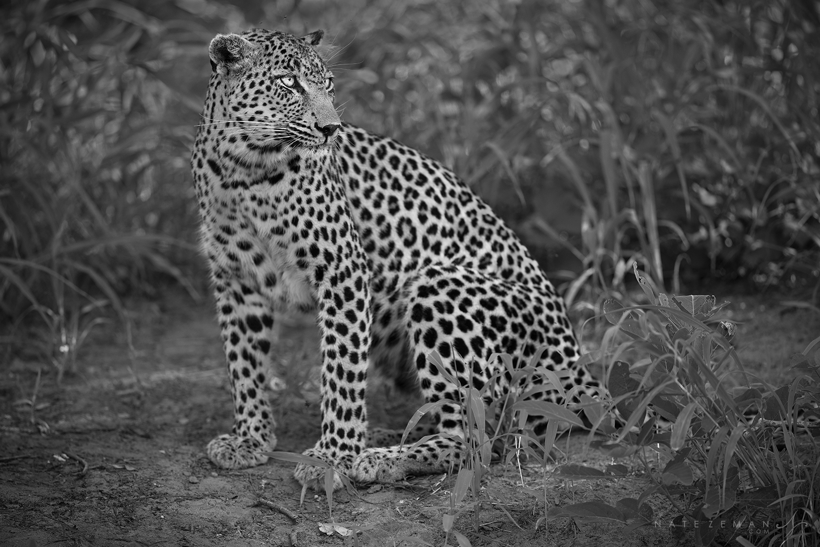 Grace, power and beauty. These are the words that come to mind when Ilook at a leopard. The first thing I notice are the...