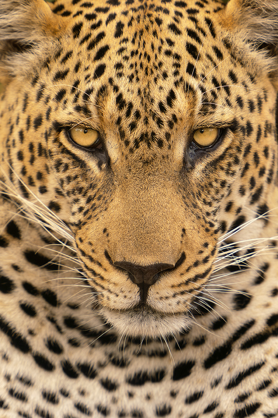 Face to face with a large male leopard.