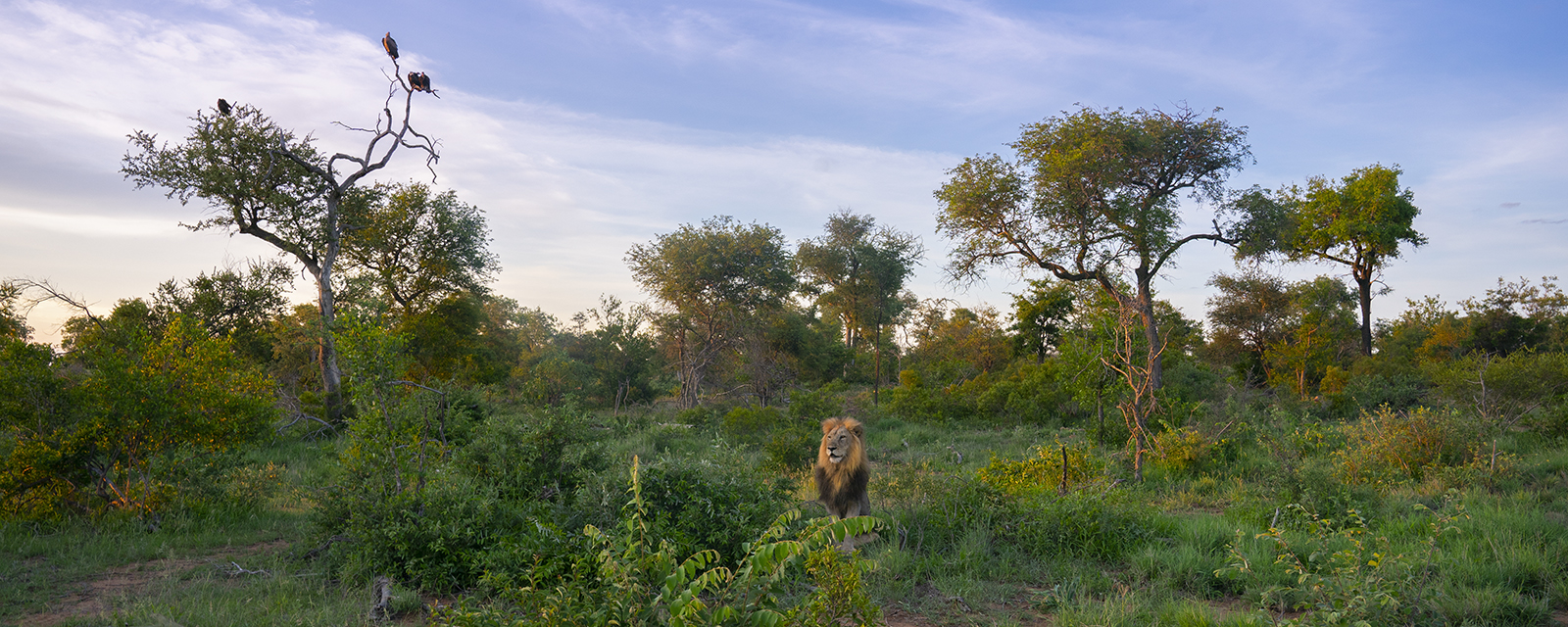 A Lion's magnificent mane absorbs the warm glow of sunset ashe keeps a keen eye on a herd of zebras not far away. A&nbsp...