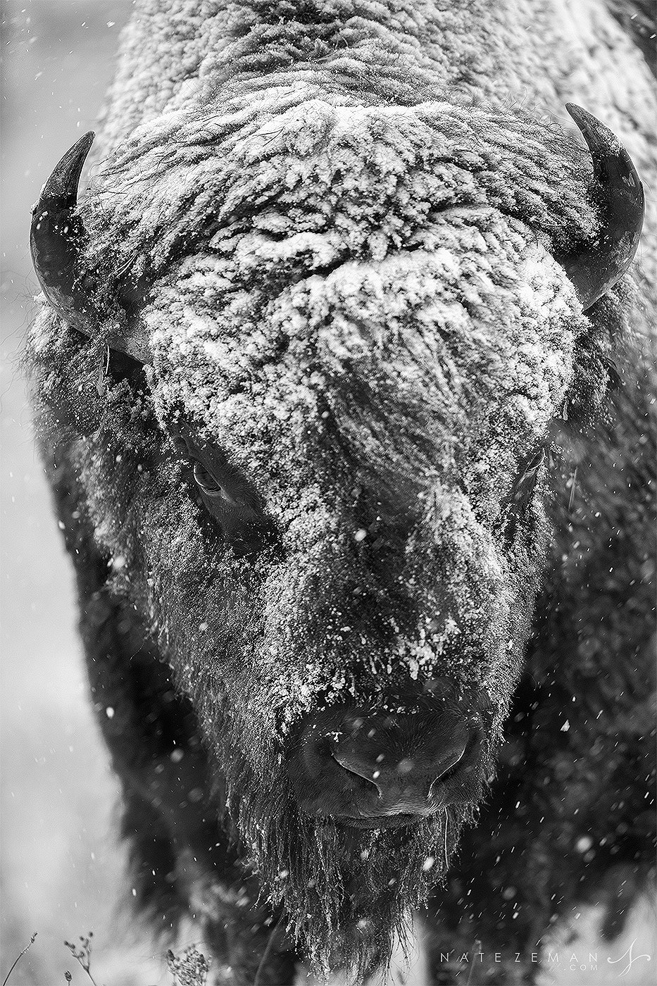 A massive bull bison grazes during a heavy autumn snow storm.