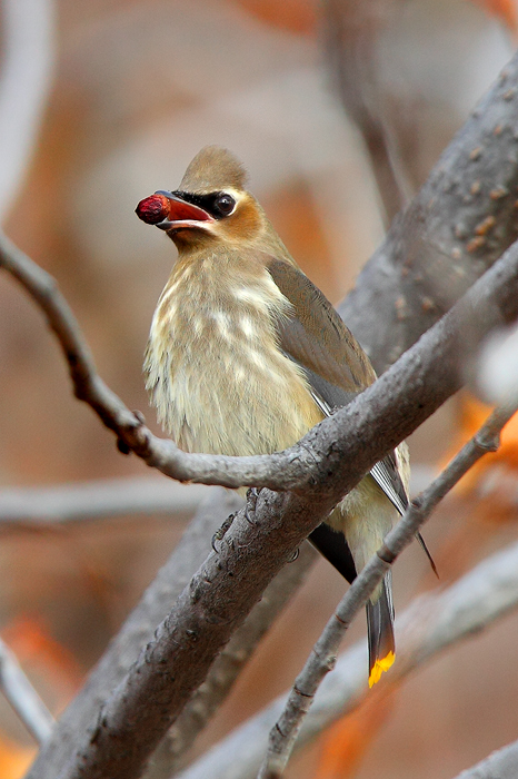 autumn, fall, cedar waxwing, wax, wing, berry, berries, red, mouth, grand teton national park, tetons, hawthorn, tree, , photo