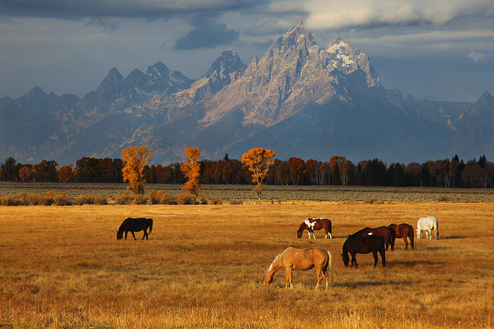 Horses graze in the early morning autumn light in Grand Teton National Park. Grand Teton, at a height of 13,775 ft and a prominence...