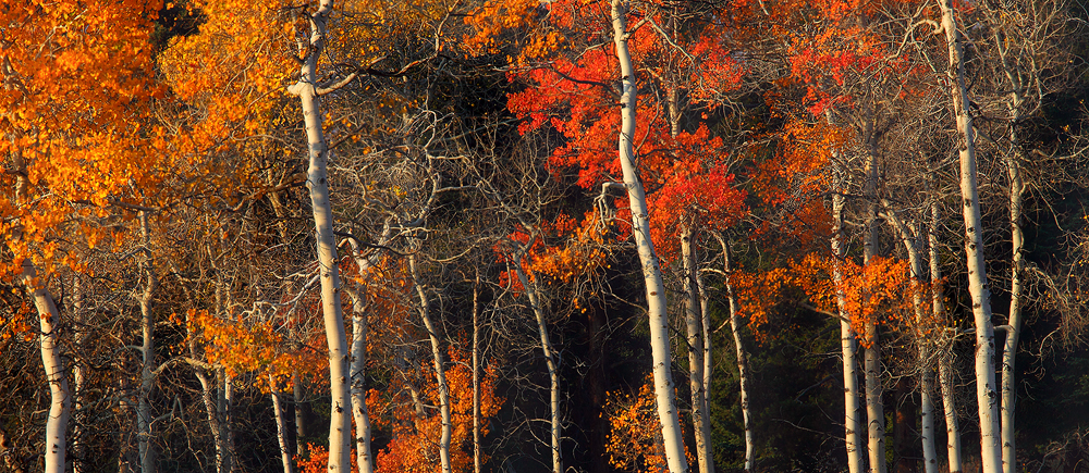 panorama, pano, trees, tree, aspens, orange, fall, autumn, trunks, yellowstone national park, yellowstone, leaves, aspen, photo