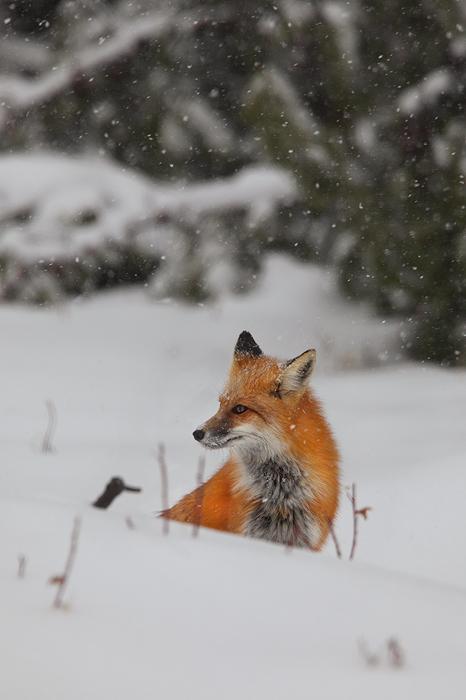 first flakes, kawuneeche valley, rocky mountain national park, fox, red fox. fox, snow, winter, never summer, animals, photo