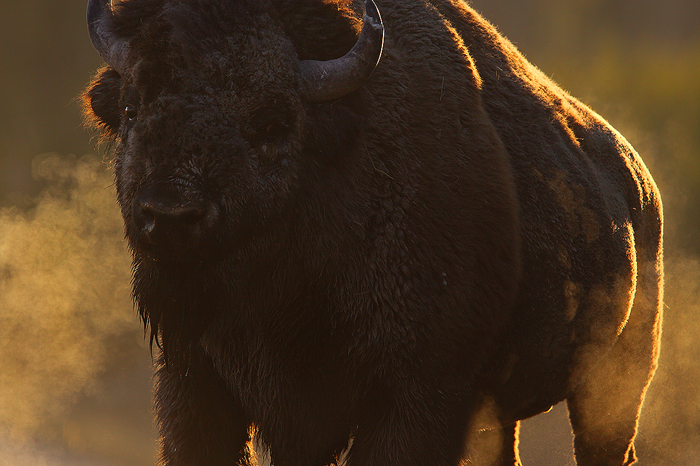 thunderbeast, thunder beast, american bison, bison, buffalo, yellowstone national park, wyoming, yellowstone, bull, photo