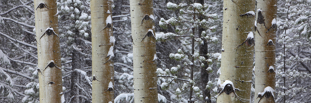 silent, snow, aspens, trees, aspen, trunks, rocky mountain national park, colorado, co, winter, snowy, wintery, forest, photo