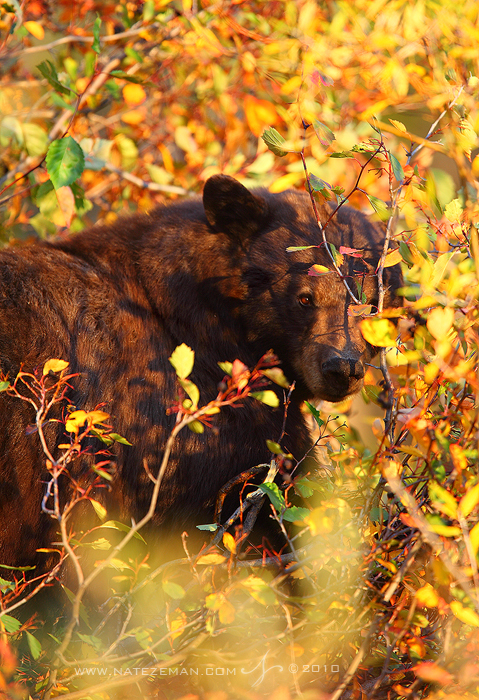 A black bear foraging amongst the autumn leaves, pauses for just a moment to look up and scan its sorroundings.