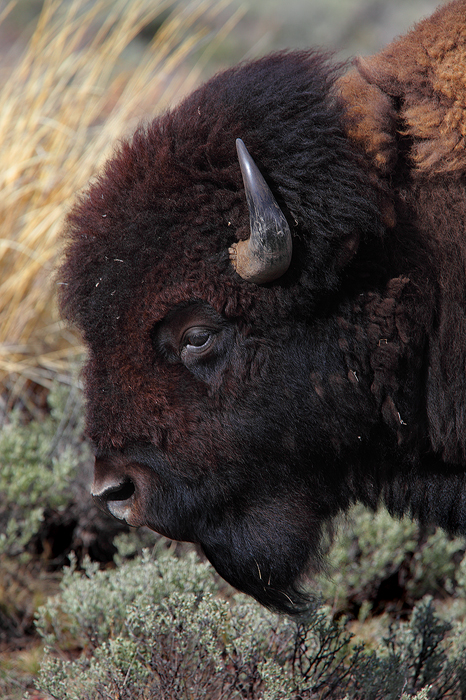 With its massive head and forequarters the American bison is a truly formidable beast. Bison are capable of withstanding some...