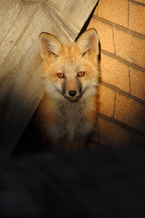 red fox, fox, kit, baby, animal, animals, den, wild animals, wild animal, wild, breckenridge, colorado, , photo