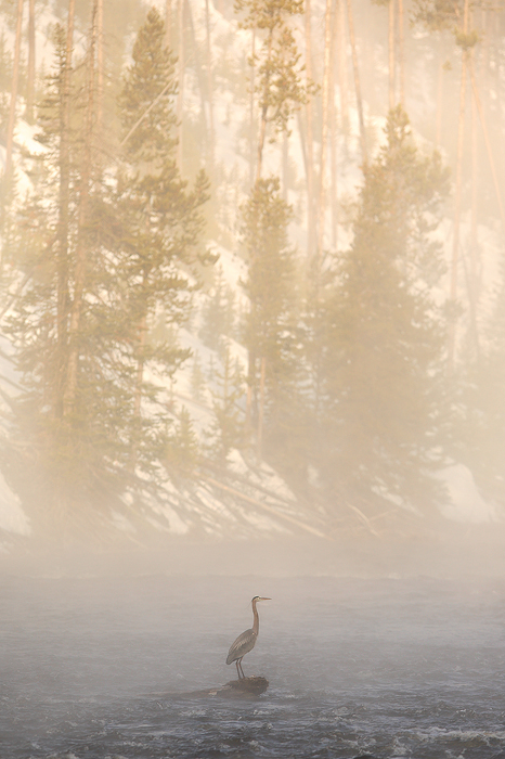 great blue heron, heron, yellowstone national park, wyoming, yellowstone, bird, fog, firehole river, photo