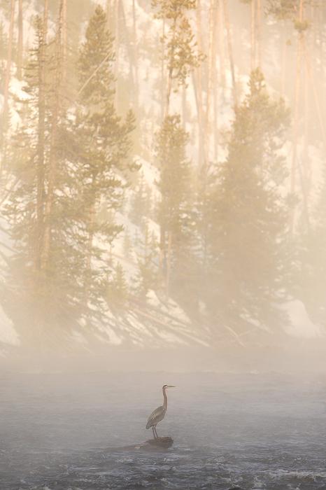 great blue heron, heron, yellowstone national park, wyoming, yellowstone, bird, fog, firehole river, photo