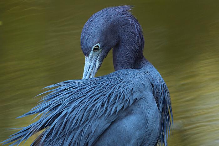 little blue heron, little, blue, heron, blue heron, ding darling national wildlife refuge, ding darling, sanibel island,, photo