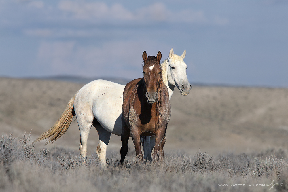 colorado, wild horse, mustang, free roaming, horse, wild, , photo