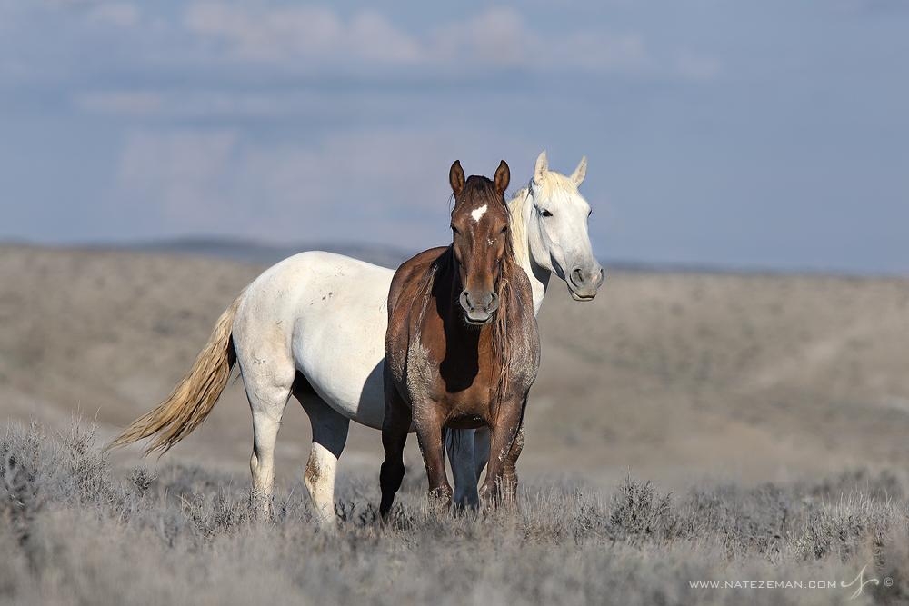 colorado, wild horse, mustang, free roaming, horse, wild, , photo