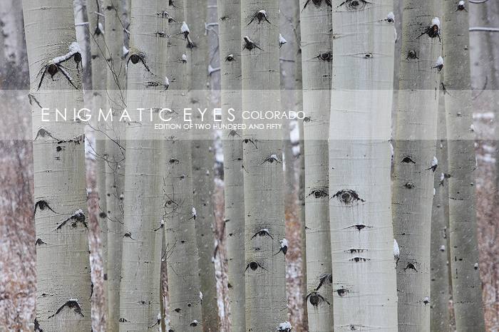 eyes, aspen, trees, eyes, trunks, quaking, leaves, white,  Horizontal landscape, horizontal landscapes, horizontal, landscape, landscapes, scenes, scenery, scapes, scape, view, aspen forest, winter, f, photo