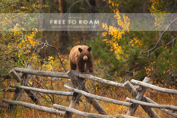 black, bear, cinnamon, grand, teton, national, park, wy, wyoming, fence, autumn, cute, small, little, young, horizontal wildlife, horizontal, horizontal wild life, wild, life, wild life, animals, anim, photo