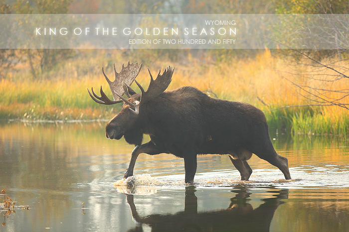 bull, moose, alces, grand, teton, national, park, wyoming, wy, large, pond, water, autumn, cow, calf, rut, horizontal wildlife, horizontal, horizontal wild life, wild, life, wild life, animals, animal, photo