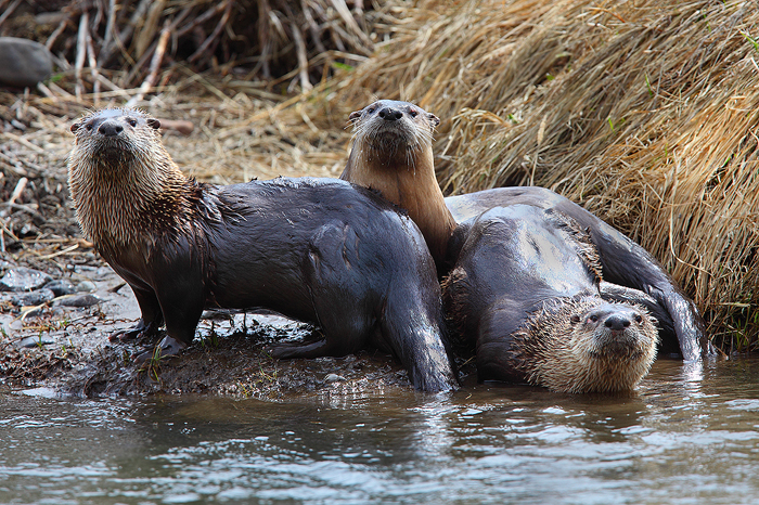 river otter, river, otter, otters, yellowstone national park, wyoming, yellowstone, river, mammal, photo