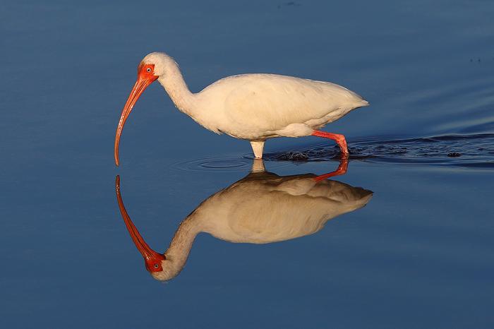 white ibis, ibis, white, reflection, ding darling, florida, sanibel, island, sanibel island, bird, water, , photo
