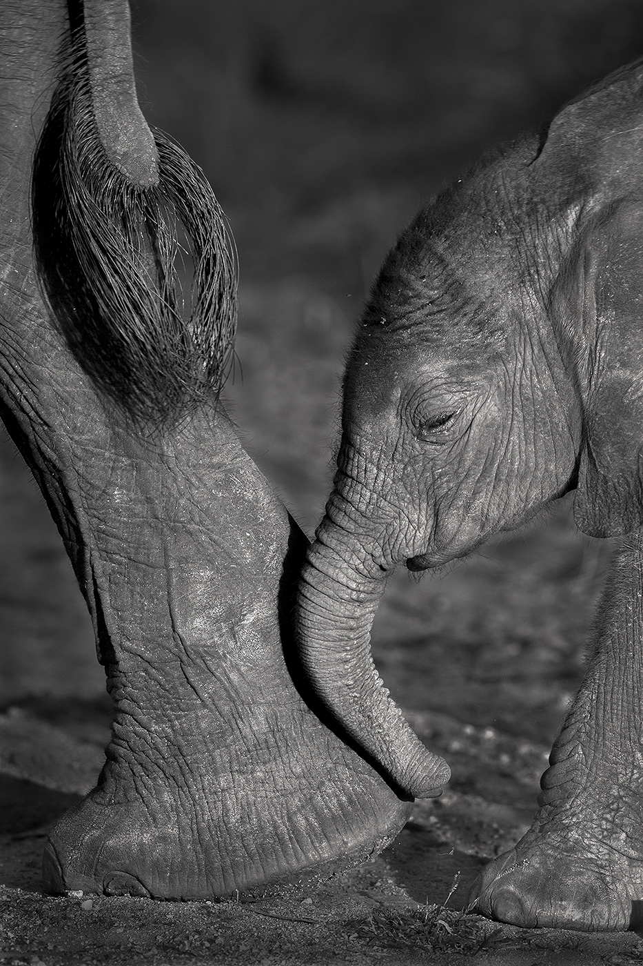 Elephants are capable of forming incrediblydeep and loving bonds. The strongest is the maternal bondbetween a mother...