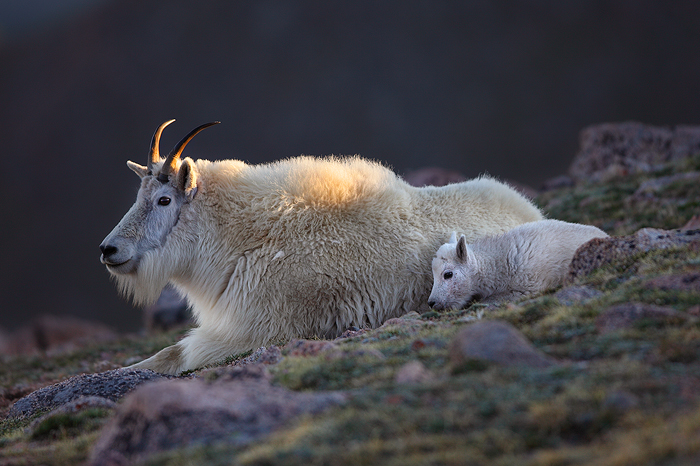 A nanny mountain goat and her kid bed down for the evening as the last rays of the day slip behind a large mountain.