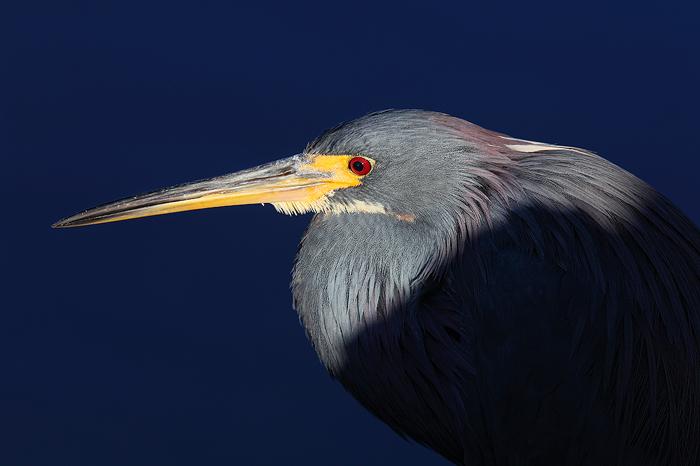 tri colored heron, heron, tricolored heron, tri colored, bird, ding darling, national wildlife refuge, sanibel island, f, photo